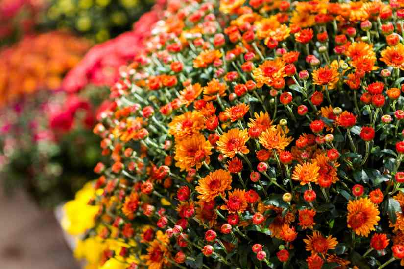 Generally, there are two types of mums; florist and hardy. So, if there is some question about this, the answer is both of them.