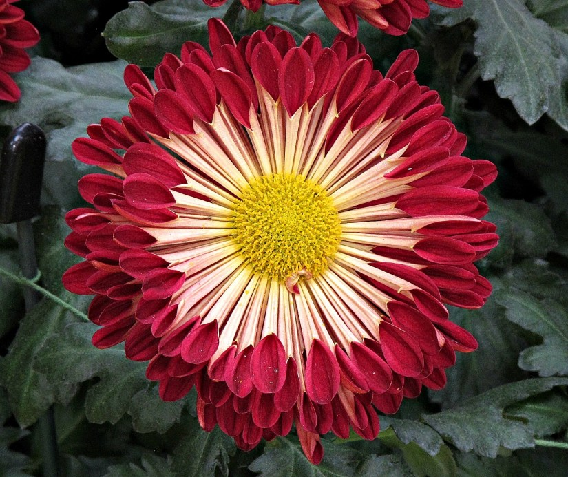 Interesting and unusual mum forms is the spoon, commonly known as spoon mums. The name derives from the shape of the petals.