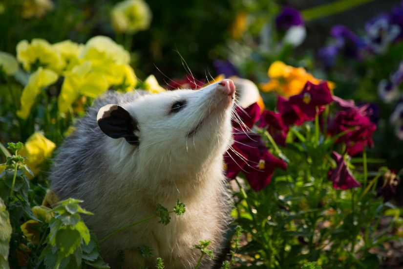 Once you've made sure that you are dealing with an opossum, there are several ways to coax it out, including using a trap or hiring a pest management professional. Removing an opossum can be challenging, and the best way to control this population is through preventive measures.