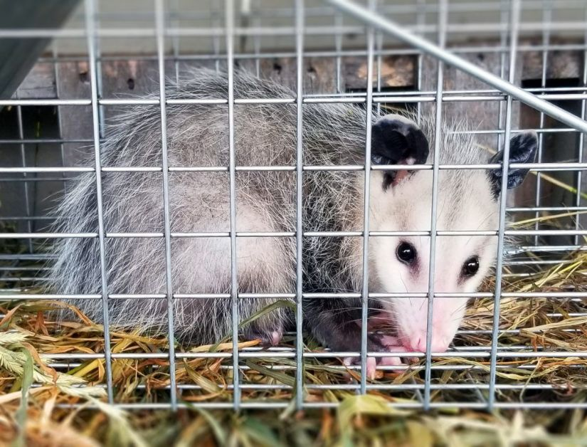The traps should be set in locations the animal frequents or where it is causing damage. Fish, canned cat or dog food are good opossum baits. To readily entice the opossum into the trap, use a small trail of bait leading to the trap.