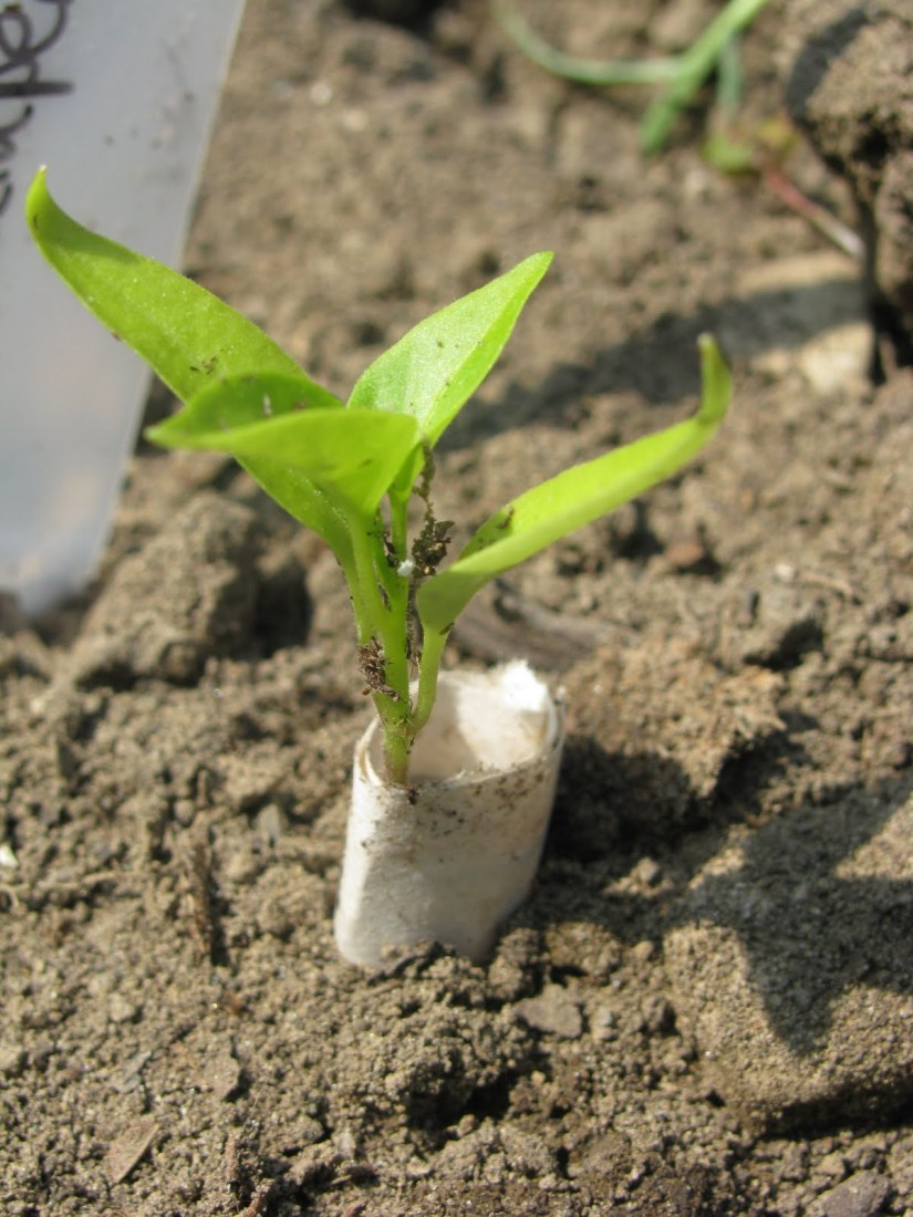 You can use a simple cardboard border to block cutworms from damaging your plants.