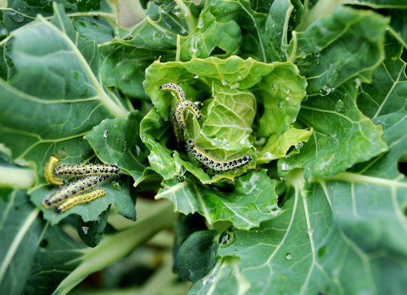 Cutworms attack a wide variety of plants including beets, cabbage, broccoli, kale and cauliflower.
