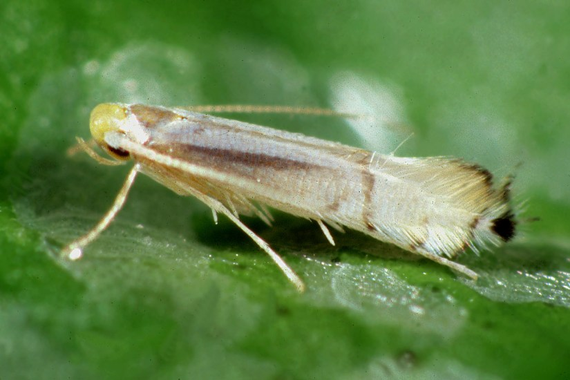 Citrus leafminer is a very small, light-colored moth, less than 1/4 inch long. It has silvery and white iridescent forewings with brown and white markings and a distinct black spot on each wing tip.