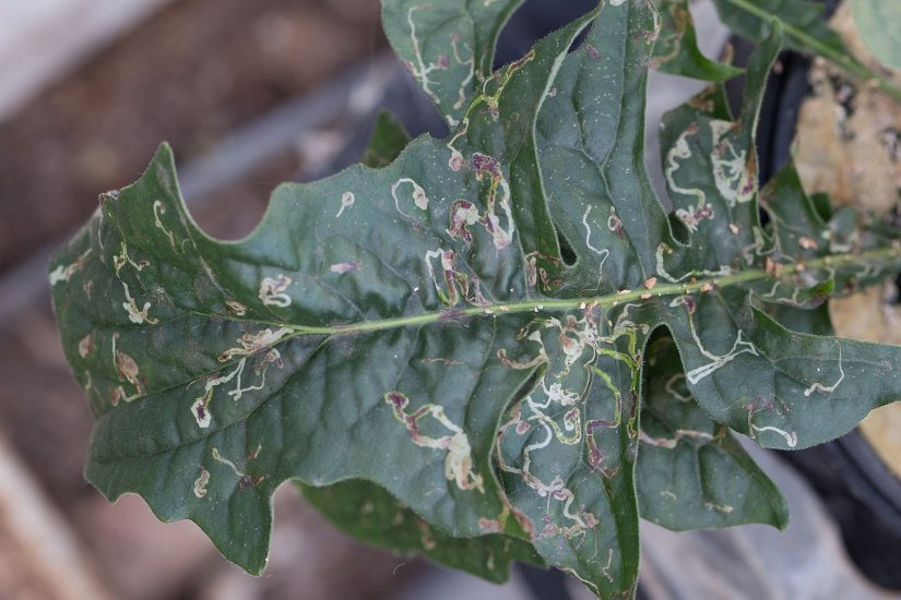 The best way to prevent leaf miner is to do periodic check with your plant. Maybe it's tiring, but this method is the best way to prevent leaf miner.