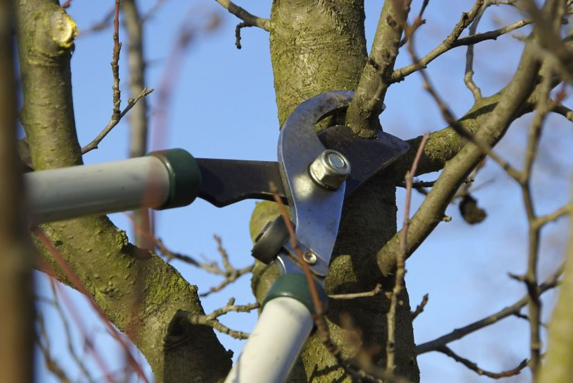 Most gardeners do intense pruning through the middle of their growing season. This helps them destroy the affected branches. Additionally, they prune out the plants moderately during early springtime and colder months.