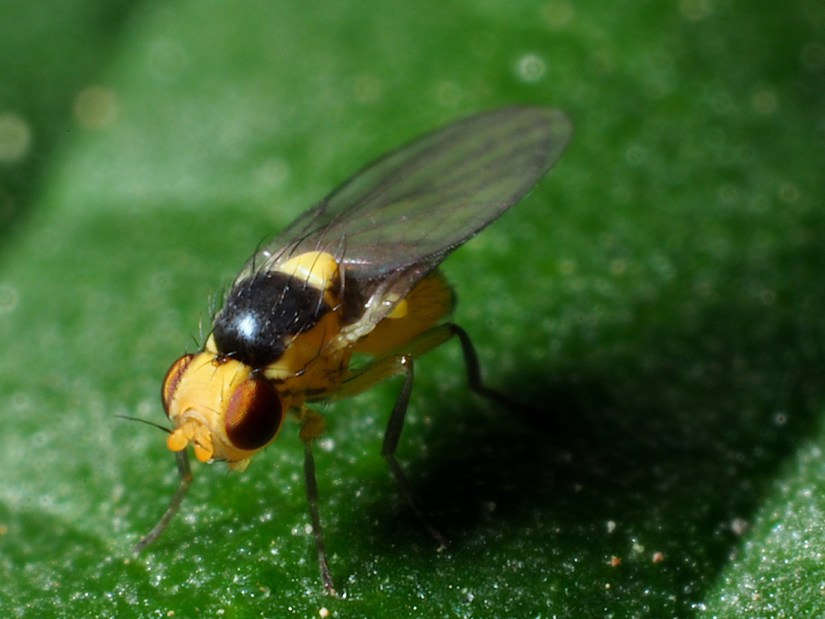 Liriomyza is a genus of leaf miner flies in the family Agromyzidae and commonly known as the vegetable leaf miner.