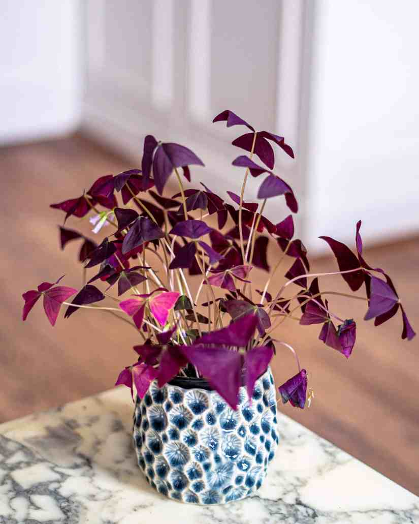 Oxalis Triangularis care summary: To keep your Purple Shamrock plant healthy, grow in rich, well-drained potting mix and water when the top inch of soil becomes dry. Maintain moderate humidity, fertilize every two to three weeks, situate in bright light and keep indoor temperature between 60°F to 75°F.