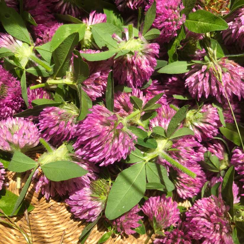 Red clover's high isoflavone content is believed to help lower menopause symptoms, such as hot flashes and night sweats. Two review studies found that 40–80 mg of red clover (Promensil) per day may help alleviate hot flashes in women with severe symptoms (5 or more per day) by 30–50%.