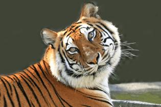 big-cat-habitat-gulf-coast-sanctuary-tiger-looking