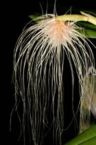 orchid-bulbophyllum-medusa
