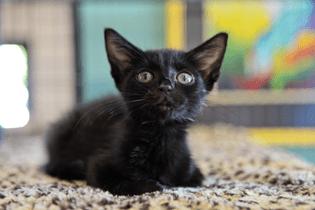 cat-depot-black-cat