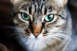cat-depot-gray-black-cat