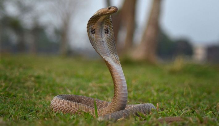 INDIAN COBRA OR NAJA NAJA
