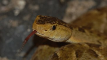 TERCIOPELO OR BOTHROPS ASPER