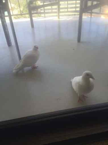Doves in Waikiki