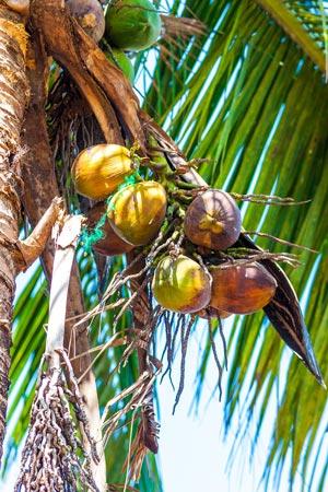 coconuts-300