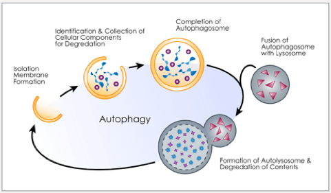 How to renew your body: Fasting and autophagy