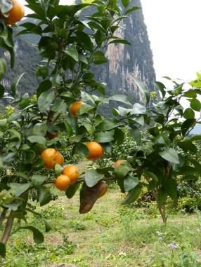 So many orange groves on the way.