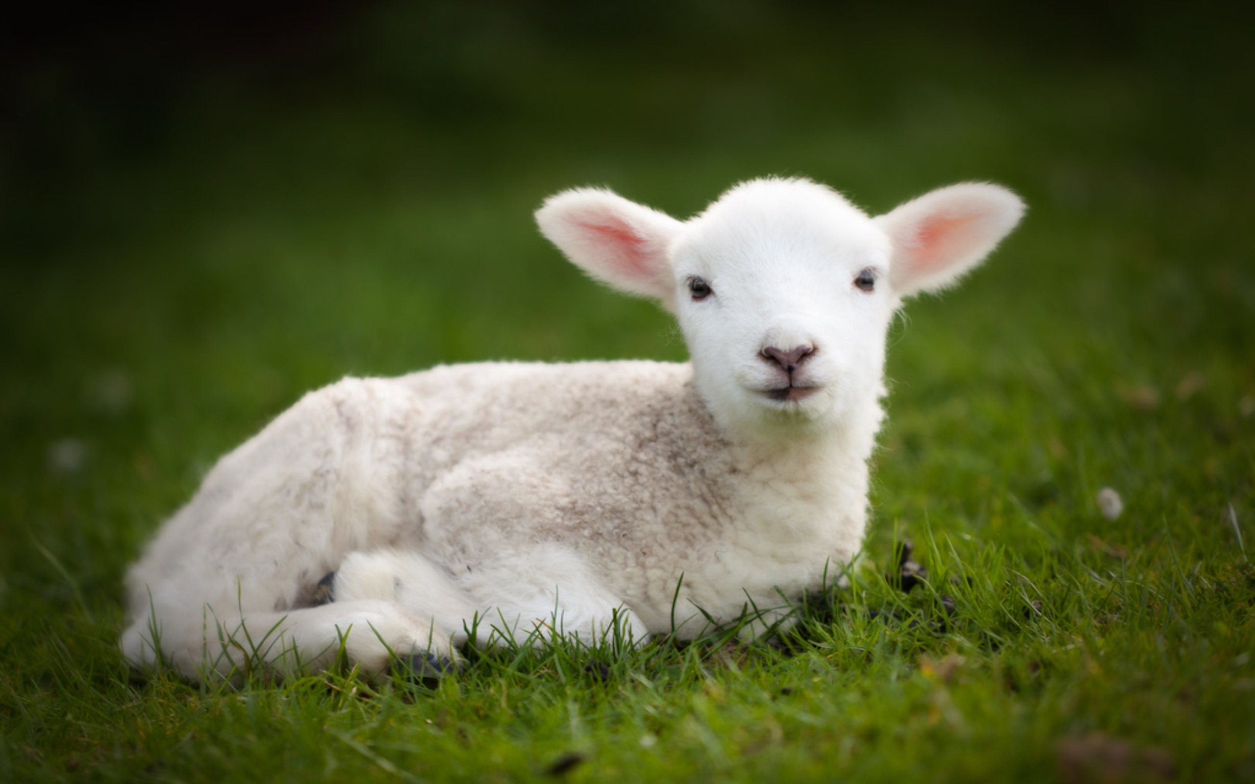 Cute Cow Wallpaper (45+ images) (2560 x 1600 Pixel)