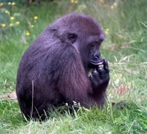 Gorilla 17 (Small)
