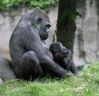 Gorilla moeder met jong (Small)