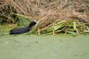 Meerkoet nest hooi1 (Small)