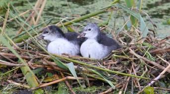 Meerkoeten jongen in nest twee 1 (Small)