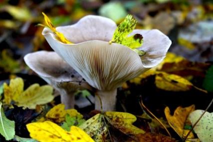 paddenstoel-prachtig-1-small