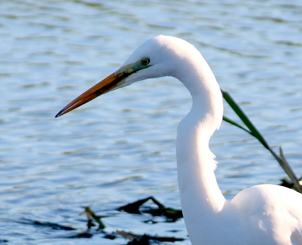 witte-reiger-11-small