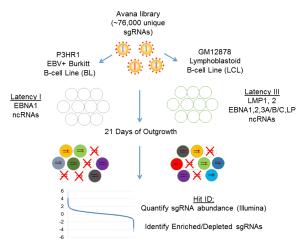 CRISPR screening of EBV-associated lymphoblastoid B-cell line (LCL)