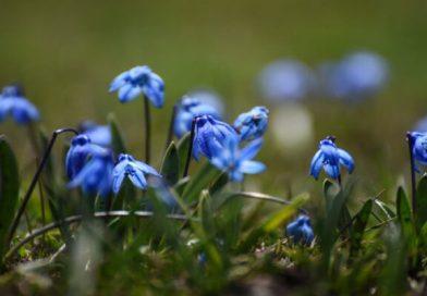 Kars mavi kardelenlerle süslendi