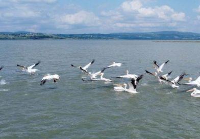 Ladik Gölü pelikanlarla şenlendi