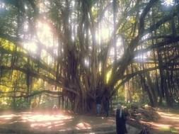 Hama'nın Deneme Bahçesi – Dev gövdesiyle ficus macrophylla isimli ağaç