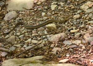 Harmless Snake