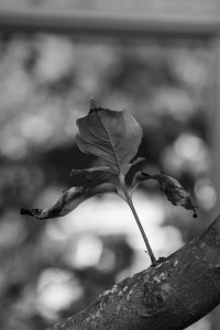 Boston_Area_Leaves_Black_White-5