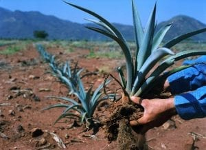 blue-agave-plant