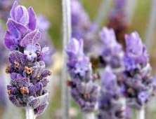 lavendar-bud