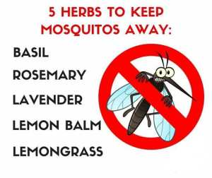mosquito-oils
