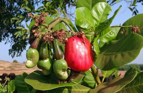 Image result for cashew fruit in nigeria