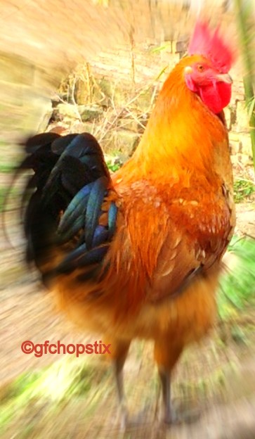 A strutting rooster