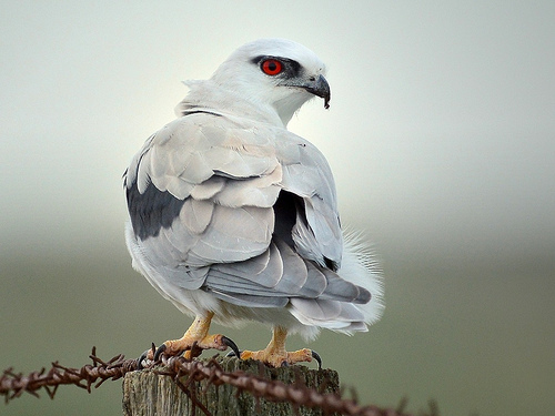 A black-shouldered kite just after a meal, a beautiful picture that is CC and made by David Jenkins.