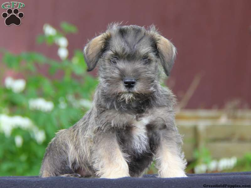 Leroy Miniature Schnauzer Mix Puppy For Sale In Pennsylvania