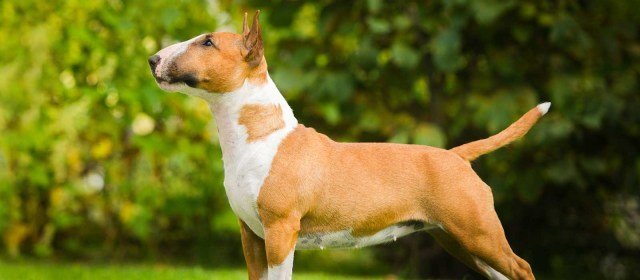 bull terrier puppies for sale - bull terrier dog breed info