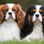 Cavalier King Charles Spaniel Puppies For Sale Greenfield Puppies