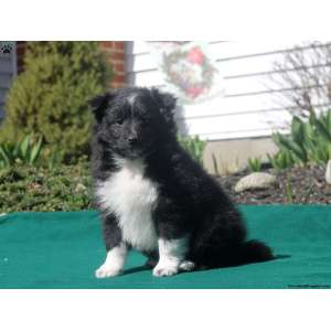 Pretty Sale Wyoming Border Collie Mix Puppies New Mexico
