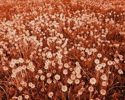 Son magnifique champ de fleurs, 2013 (Her beautiful field of flowers) - ©David Favrod