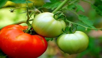 صورة تناول الطماطم الخضراء يزيد من خطر إصابتك بأمراض خطيرة