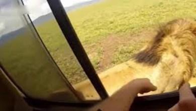 صورة فيديو يوثق لحظة هجوم أسد على مذيع