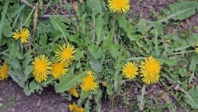 صورة نبتة خضراء تساعدك على إنقاذ حياتك من خطر الأمراض المميتة