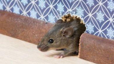 صورة علامات تدل على وجود فئران بمنزلك.. وكيف تحمي بيتك منه؟